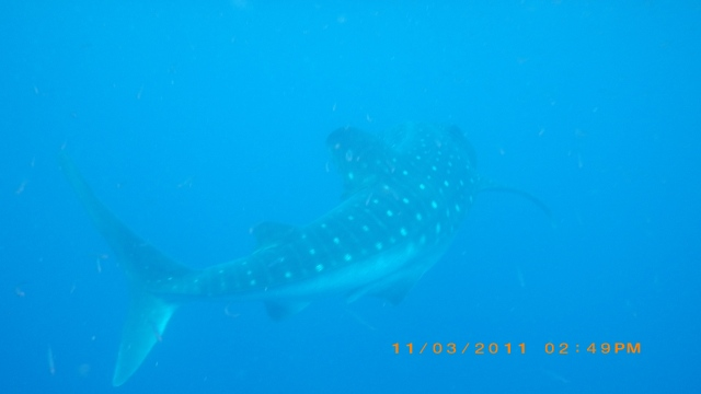This is a picture of a whale shark in Utila, Honduras. Baby steps like helping captive sharks with artificial insemination could leave to the future preservation of sharks who give live birth, like this whale shark.
