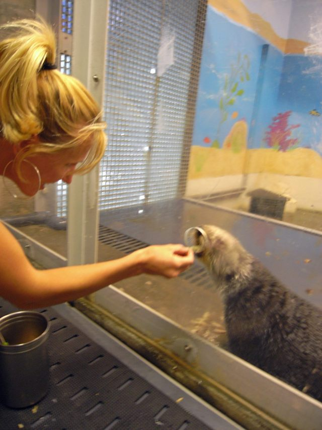 Otters: An animal that can teach their young a behavior