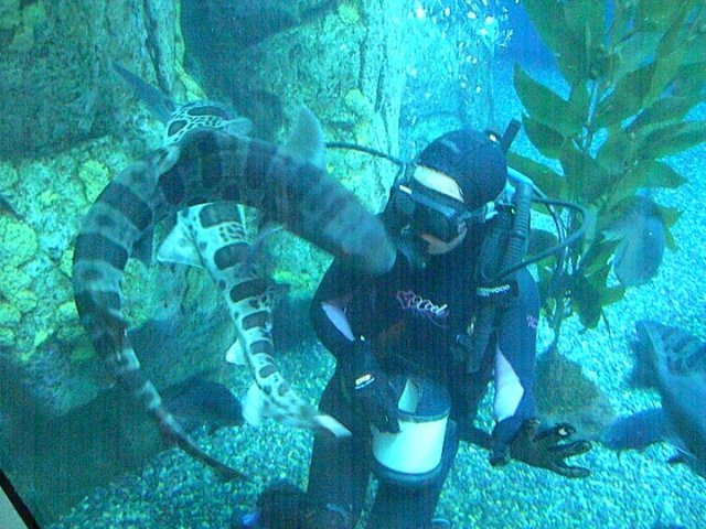 Merbabe diving with leopard sharks at the Aquarium of the Pacific.