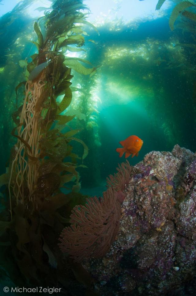 Garibaldi/Kelp Scene, Empire Landing, CATALINA CA!