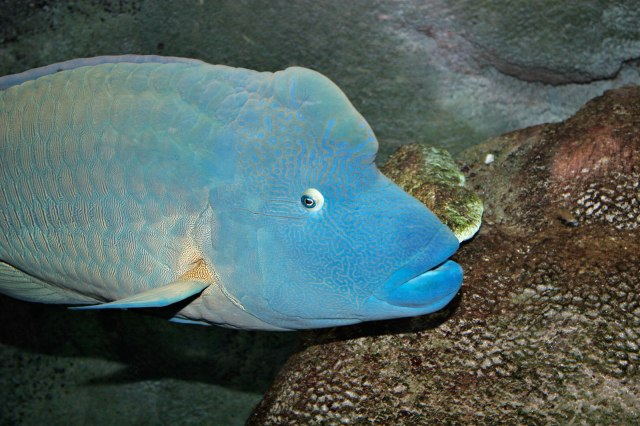 melbourne aquarium: a breeding male wrasse.