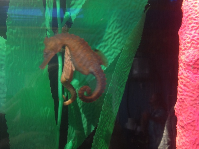 so it turns out i'm not amazing at taking pictures of sea horses.