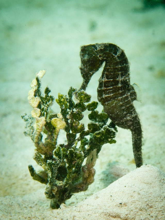 Photo from Mario Chow: A wild seahorse in Utila, Honduras.