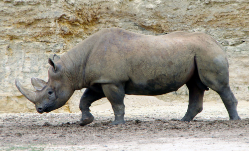 remember that really annoying Western Black Rhinoceros problem we all used to have? neither do, since we made em extinct. :(