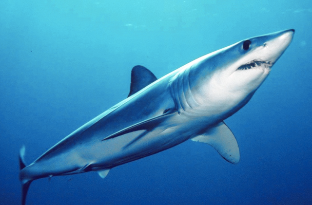 instead of showing a picture of the fishermen and their kill, I will show a live and graceful mako, swimming smoothly in his element.