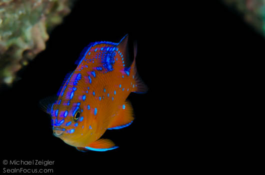 beautiful juvenile garibaldi