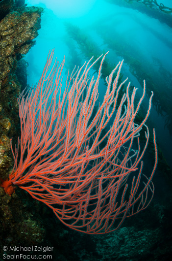 Most people don't think of colorful coral when they think of southern california kelp forests.  (Sea in Focus)