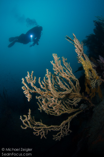 diver and cold water coral, ....Sea in Focus