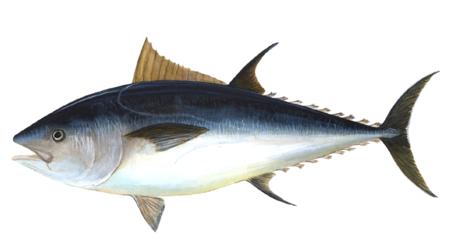 this atlantic blue fin tuna displays countershading.