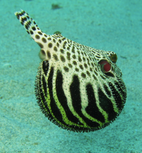 a puffer, displaying his agnomen.