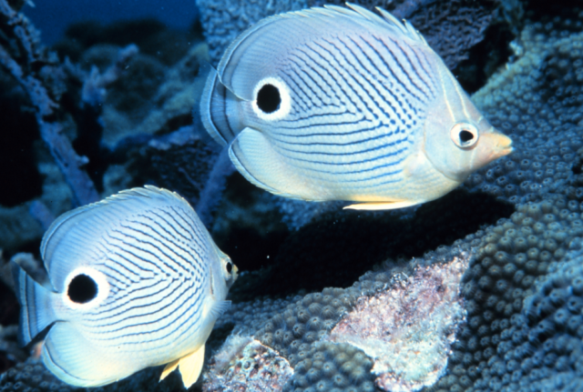 a brightly colored fake out-Foureye Butterflyfish mislead predators witha  fake eye.