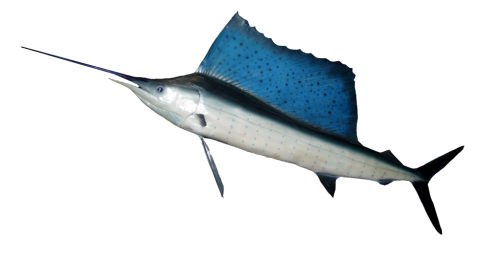 Atlantic Sailfish...the fastest fish in the wilderness (ocean).  Clocked up to 75 miles per hour.