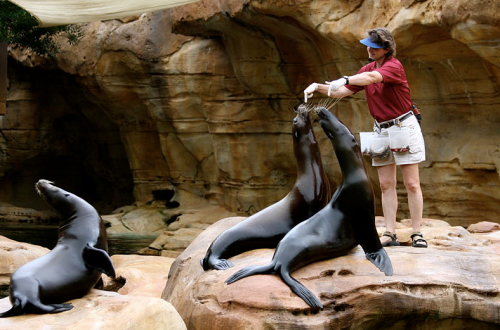 Who can sit up like this on their elongated front flippers? (SEA LIONS)