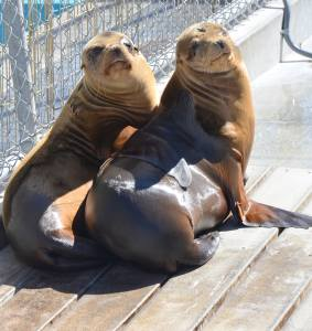 Two appropriately sized (aka chubby) california sea lions.