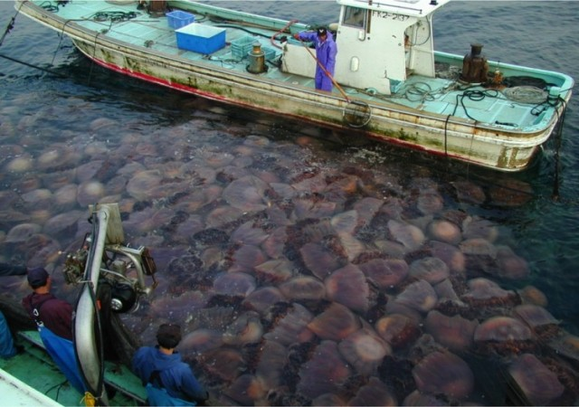 Giant Jellyfish, Nemopilema nomurai, clogging fishing nets in Japan. (Dr. Shin-ichi Uye)