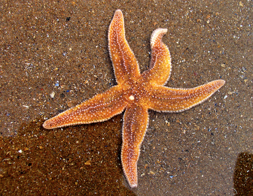 a healthy starfish