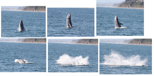 Gray whale breaching. These awesome pictures not taken by me.
