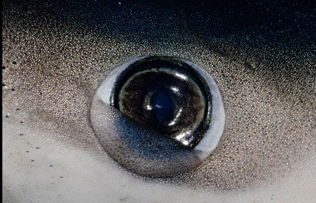 a blue shark closing its nictitating membrane.