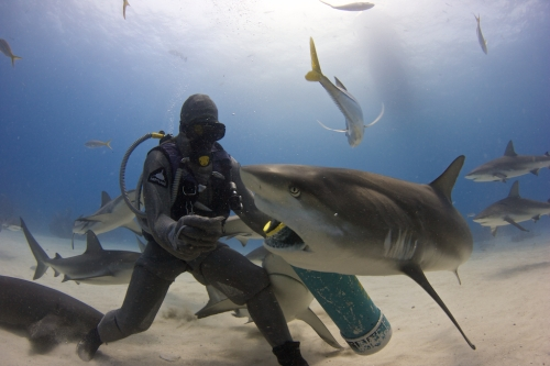 If all sharks are maneaters, as Discovery would have you believe: how did this photographer get out alive? Credit and copyright Dudley C. McLaughlin
