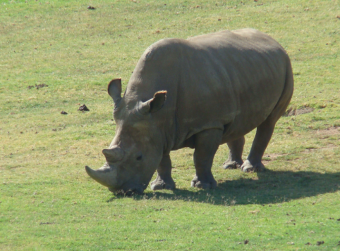 One of the remaining white rhinos, in captivity at the San Diego Zoo Safari Park in Escondido.