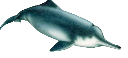 China River Dolphins: Functionally Extinct.
