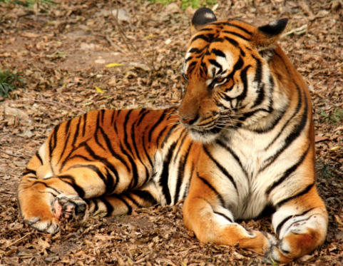 South China Tiger: Functionally Extinct.
