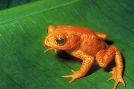 Golden Toads: Functionally Extinct.