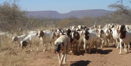 Kangal Shepherd, guarding livestock very successfully.