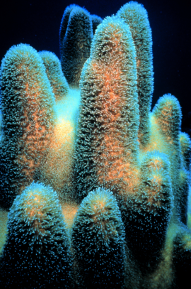 Coral, not bleached by acid.