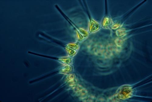 Phytoplankton.