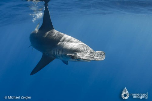 A Smooth Hammerhead in San Diego, 2014. Image from Michael Zeigler, of www.seainfocus.com