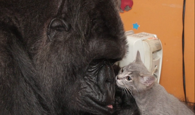 "Gorilla Koko with ""her baby"", Kittens she had been asking for using sign language, a baby of her own."