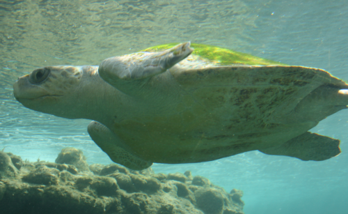 Sea Turtles, like this Olive Ridley, frequently get caught and suffocated in drift nets all over the ocean.