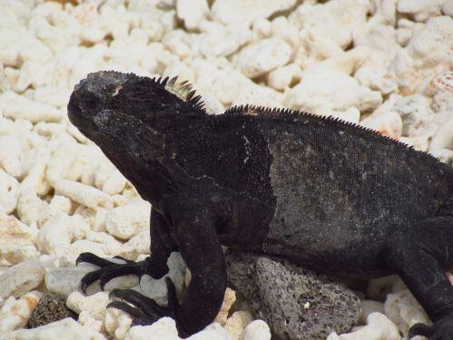 marine_iguana_28a-_c-_nanus292c_male2c_genovesa_island