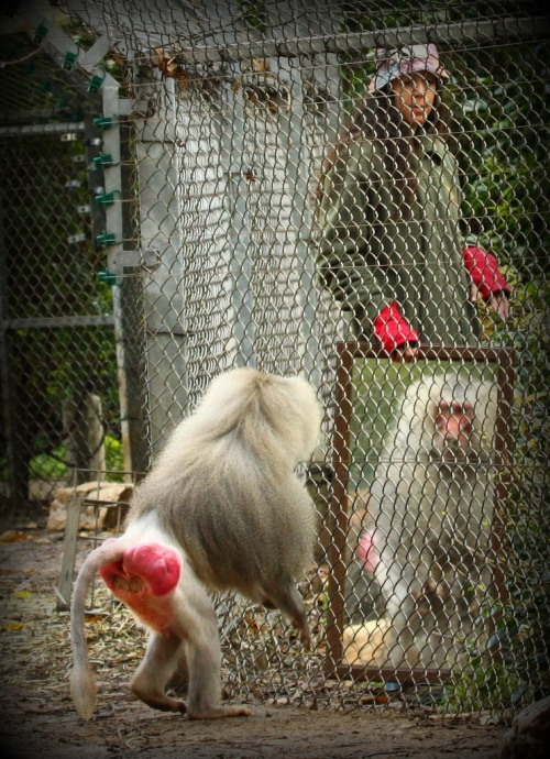 mirror_test_with_a_baboon
