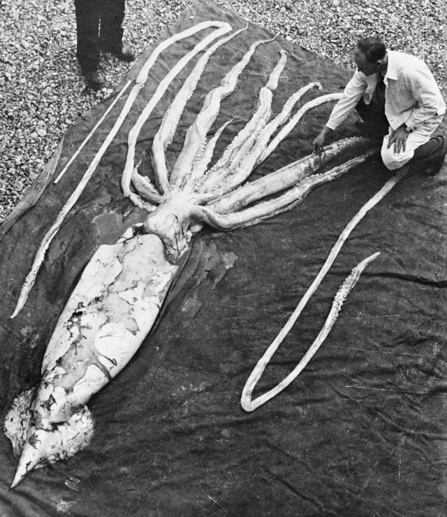 giant_squid_ranheim2