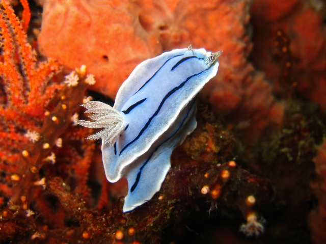 chromodoris_willani_for_nudipixel