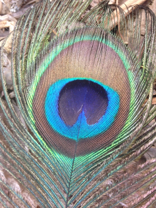 peacock_feather_close_up