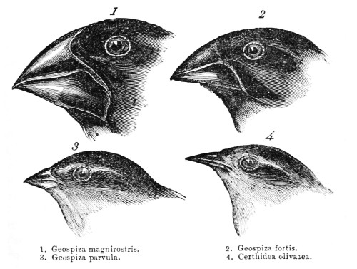 darwin27s_finches_by_gould