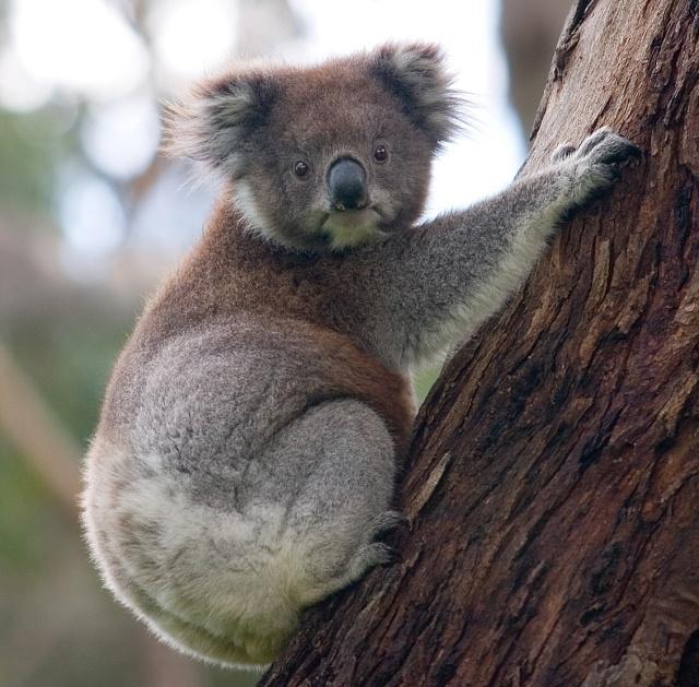 koala_climbing_tree